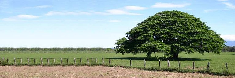 Santa Cruz Guanacaste Tree Banner.jpeg